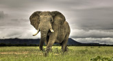 How Elephants Talk to Each Other Long Distance